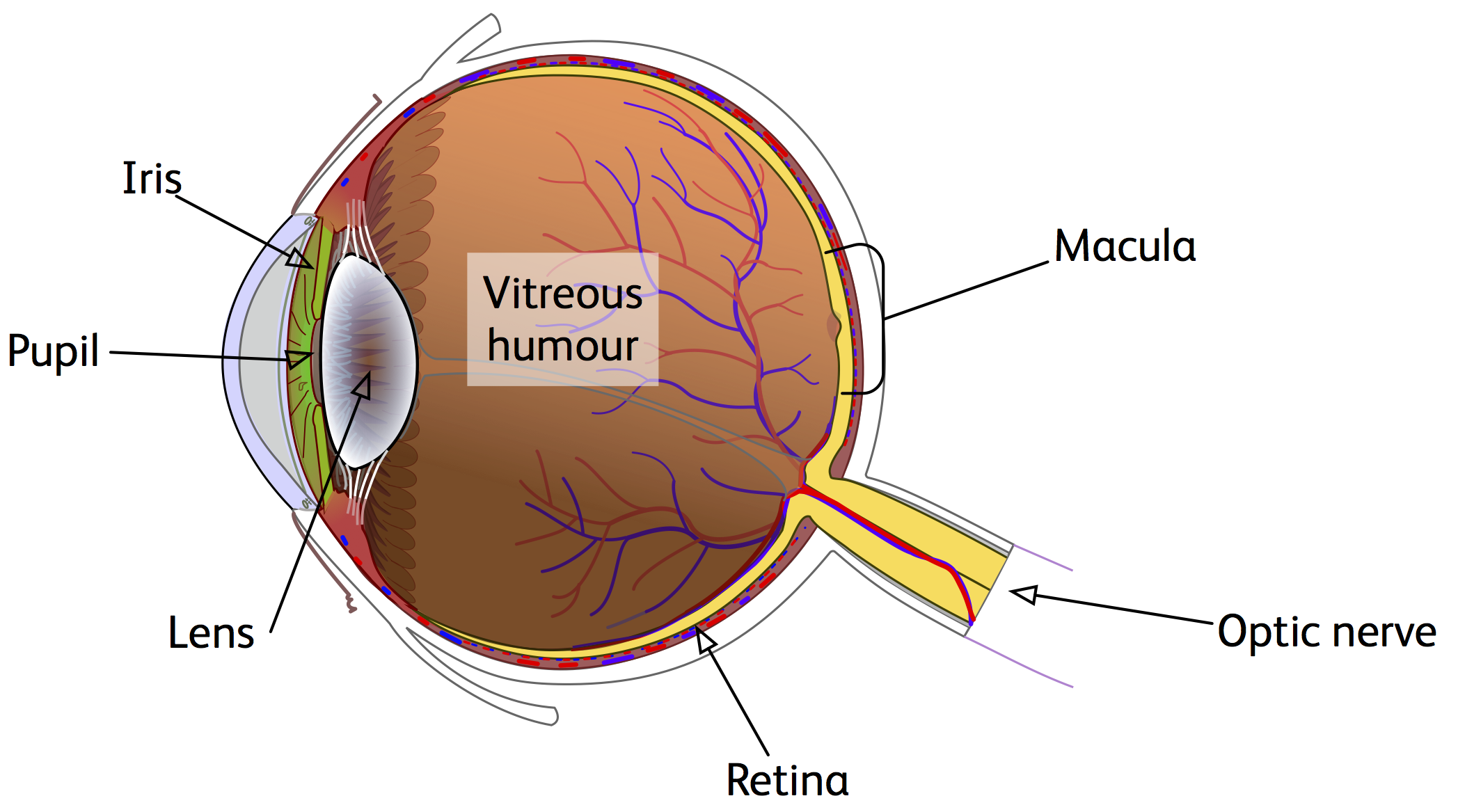 A labelled diagram of the eye gallery diagram and writign diagram labelled diagram of the eye images human anatomy reference labelled eye sendsuccess a labelled diagram of pooptronica Gallery